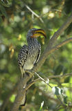 Southern Yellow-billed Hornbill in tree Royalty Free Stock Images