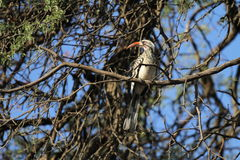 Southern Yellow-billed Hornbill Royalty Free Stock Photos