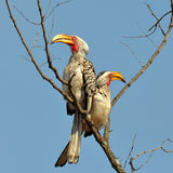 Southern yellow-billed hornbills Stock Photo