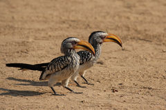 Southern Yellow-billed Hornbills. Two Southern Yellow-billed Hornbills (Tockus leucomelas) sitting on the ground royalty free stock photos