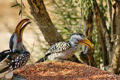 Southern yellow-billed hornbills at a feeder. Southern yellow-billed hornbills - Tockus leucomelas - at a feeder at a lodge in Botswana royalty free stock images