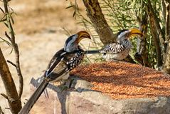 Southern yellow-billed hornbills at a feeder. Southern yellow-billed hornbills - Tockus leucomelas - at a feeder at a lodge in Botswana royalty free stock photos