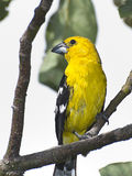Southern Yellow Grosbeak. The Southern Yellow Grosbeak is a common visitor to the gardens of Quito Royalty Free Stock Image
