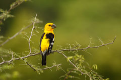 Southern Yellow Grosbeak. Beautiful yellow male of Southern Yellow Grosbeak sitting in morning light, Ecuador stock image
