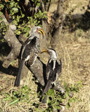 Southern Yellow Hornbill. A pair of Southern Yellow-billed Hornbills sat on a branch Royalty Free Stock Photos
