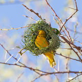 Southern Yellow Masked Weaver. During the breeding season in Namibia Stock Image