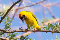 Southern Yellow Masked Weaver Stock Photo