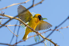 Southern Yellow Masked Weaver. During the breeding season in Namibia Royalty Free Stock Photography