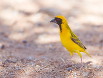 Southern Yellow Masked Weaver, selective focus on eyes. Southern Yellow Masked Weaver during the breeding season in Namibia Stock Images