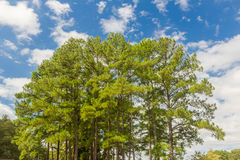 Southern Yellow Pine Trees Royalty Free Stock Image