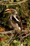 Southern Yellowbill Hornbill. The bird was aside the road in the Kruger Park Stock Photos