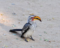 Southern Yellowbilled Hornbill. In the Kruger Park, South Africa royalty free stock image
