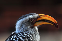 Southern Yellowbilled Hornbill Royalty Free Stock Image
