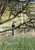 Southern Yellowbilled Hornbill. 's; tockus leucomelas; Africa stock image