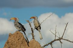 Southern yellowbilled hornbill. A pair of pre-historic like yellow-billed hornbills in Africa Royalty Free Stock Photo