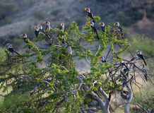Southern Yellowbilled Hornbill's; tockus leucomelas;. Africa royalty free stock images