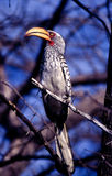 Southern Yellowbilled Hornbill Stock Images