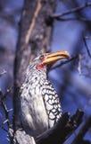 Southern Yellowbilled Hornbill. Tockus flavirostris, Central Kalahari Game Reserve, Ghanzi, Botswana, Africa royalty free stock images