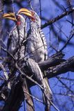 Southern Yellowbilled Hornbill. Tockus flavirostris, Central Kalahari Game Reserve, Ghanzi, Botswana, Africa stock images