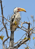 Southern Yellowbilled Hornbill. (tockus leucomelas) in the Kruger National Park, South Africa stock photography
