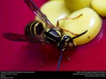 Southern Yellowjacket (Vespidae, Vespula squamosa) Stock Images