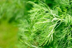 Southernwood (Artemisia Abrotanum) Stock Photography
