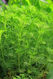 Southernwood (Artemisia abrotanum) Στοκ Φωτογραφίες