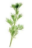 Southernwood (Artemisia abrotanum) Στοκ Εικόνες