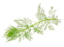 Southernwood (Artemisia Abrotanum) Branch Royalty Free Stock Photography
