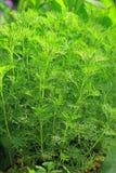 Southernwood (Artemisia abrotanum) Stock Photos