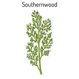 Southernwood artemisia abrotanum , or lad s love, southern wormwood, medicinal plant. Hand drawn botanical vector illustration vector illustration
