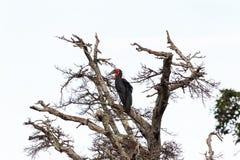 Southhern zmielona dzioborożec na gałąź suchy drzewo Masai Mara, Afryka Zdjęcia Stock