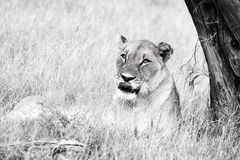 The Southwest African lioeness lying under the tree. The Southwest African lion or Katanga lion Panther leo bleyenbrghi, lioeness lying under the tree in black royalty free stock photos