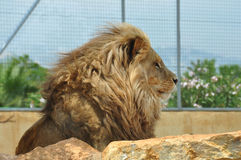 Southwest african lion Royalty Free Stock Image