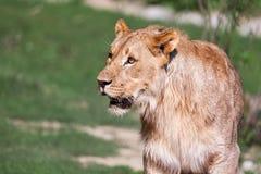Southwest African Lion Stock Image