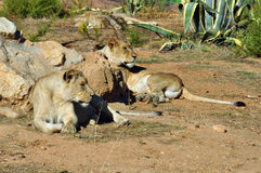 Southwest african lioness Royalty Free Stock Image