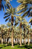 Southwest Date Palm Trees. Grove of Date Palm Trees Ready for Harvest Stock Photos