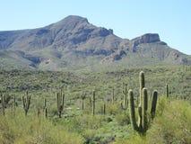 Cactus landscape Stock Image