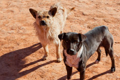 Southwestern Dogs Stock Images
