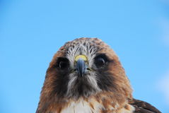Redtail Hawk Headshot Closeup. A redtail stares intently at the viewer Royalty Free Stock Images