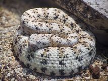 Southwestern Speckled Rattlesnake Royalty Free Stock Images