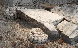 Southwestern Speckled Rattlesnake Stock Images