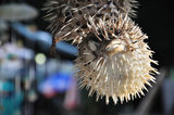 Souvenir Puffer Fish Hanging at a Stall Stock Photography