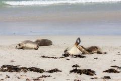 Sova australiska sjölejon Neophoca som är cinerea på känguruökustlinjen, södra Australien, skyddsremsafjärd royaltyfri bild