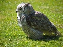 Sova australska, lat. Tyto Novaehollandiae, standing on grass. Sova australska, lat. Tyto Novaehollandiae, in profile standing on grass Stock Photography