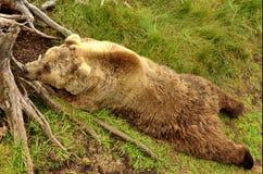 Sova björn Fotografering för Bildbyråer