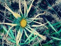 Sova blomman med skönhet och att smärta fotografering för bildbyråer