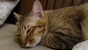 Sova Cat Thailand Zzz Fat arkivbild