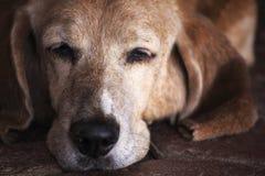 Sova den Basset Hound hunden Arkivfoto