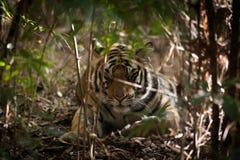 Sova den Bengal tigern i Indien den Bandhavgarh nationalparken Royaltyfri Foto